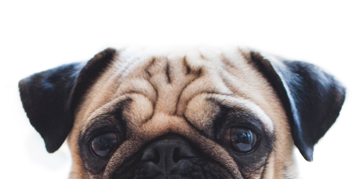 image of a beige and brown pug